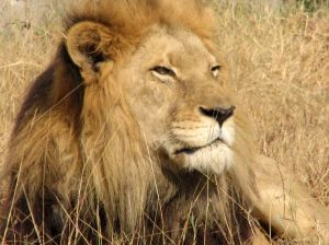 Lion-origional, small