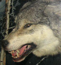 Grey_Wolf_3