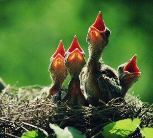 baby birds